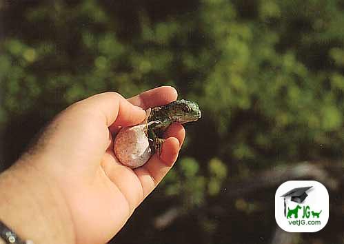La alimentación de la iguana (I)