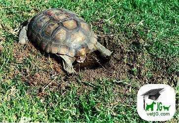 Reptiles como mascotas: I.Tortugas terrestres