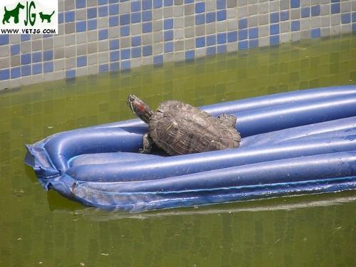 Reptiles como mascotas: I. Tortugas acuáticas