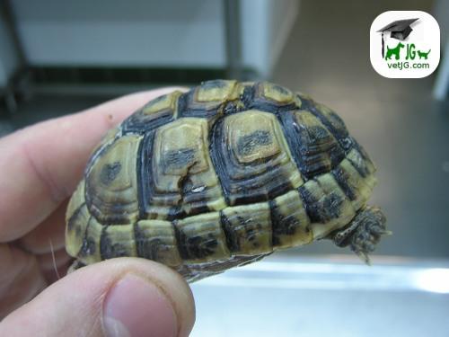 ¿ Qué debo hacer con el caparazón roto de mi tortuga ?