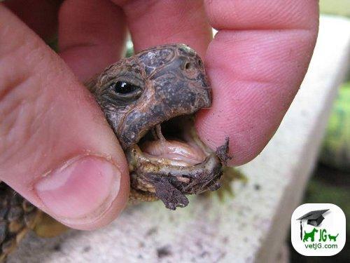 Problemas respiratorios en tortugas