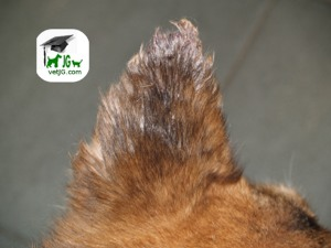 Afecciones del borde de la oreja en mascotas