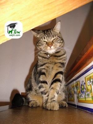 Razas de gatos: El gato común europeo.