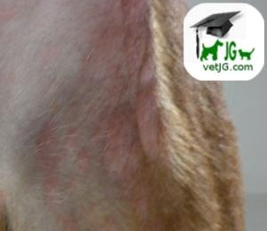 Reacciones alérgicas en nuestras mascotas.