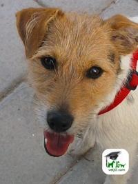 Razas de perros: El Jack Russell Terrier.
