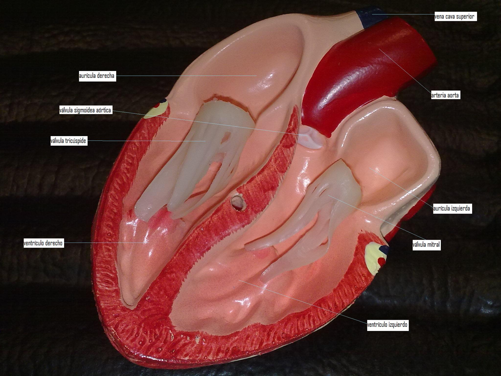 ¿como funciona el sistema circulatorio?