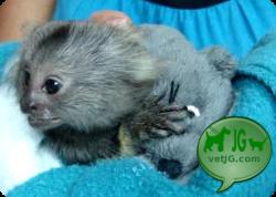 El mono titi pincel blanco Saguinus oedipus. Guía de cuidados. parte 1 de 4: INTRODUCCION. HISTORIA NATURAL