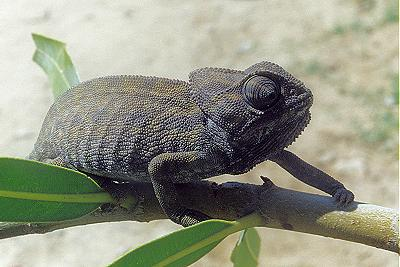 El camaleón español
