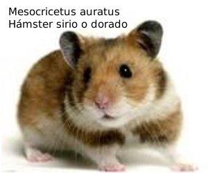 mesocricetus auratus nombrado