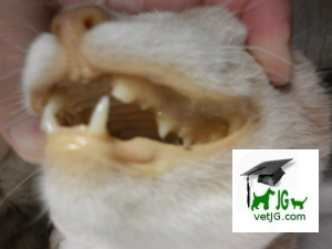 boca icterica gato