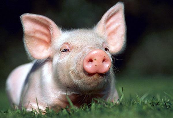Transmisión del virus hepatitis del cerdo al hombre.