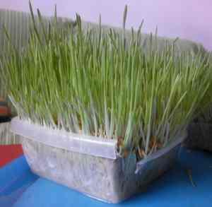 Forraje verde organopónico casero.