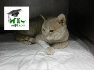 Fluidoterapia en animales hospitalizados.