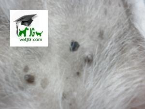Lesiones primarias en dermatología veterinaria: MÁCULA.