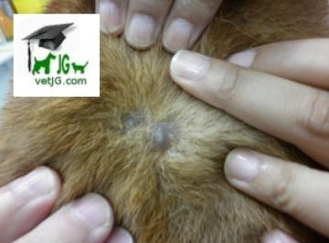 Lesiones primarias en dermatología veterinaria: VESÍCULA.
