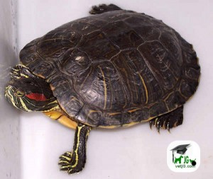 Aparición en el medio ambiente de especies exóticas: Tortuga de Florida.