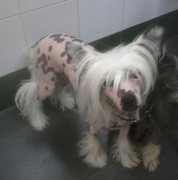 La raza del mes: El perro Crestado o desnudo Chino