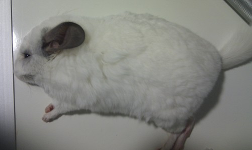 golpedecalorchinchilla