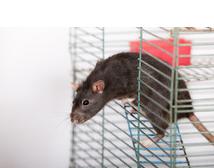 Los 10 apuntes básicos para tener una RATA como mascota en casa: