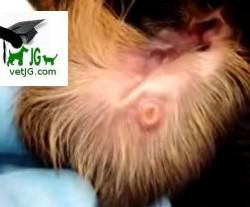 Lesión en la piel por picadura del flebotomo, trasmisor de la Leishmaniosis.
