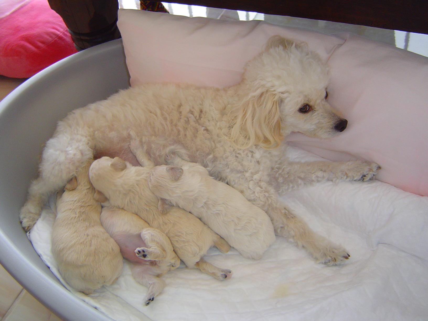Cachorritos de caniche toy.   El blog de los clientes JG