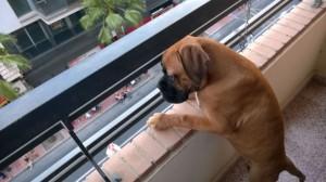 Perro paracaidista