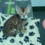 La raza del mes: El gato leopardo
