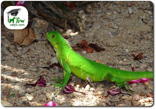 La alimentación de la iguana ( y II)
