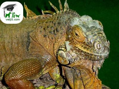 Sexaje en la iguana ( I )