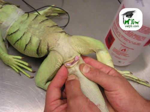 Sexaje en la iguana ( y II)