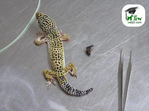 ¿ Por qué no come mi gecko ?