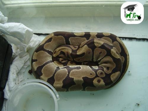 ¿ Cómo se que mi serpiente está enferma ?