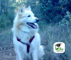 Razas de perros: El Samoyedo.