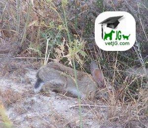 Clasificación zoológica e introducción histórica del conejo.