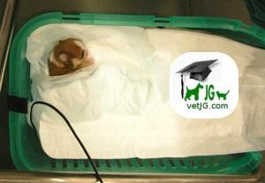 La cesárea en nuestras mascotas.