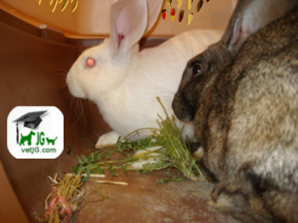 Alimentación en conejos mantenidos como mascotas.