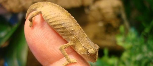 Descubierto el reptil más pequeño del mundo.