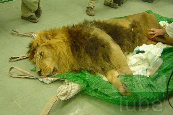 Un león en la consulta