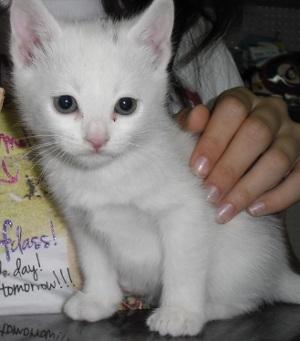 Os presentamos a Misu, preciosa gatita blanca.
