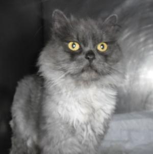 Bender, un gatito persa muy paciente.