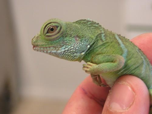 Reptiles exóticos como mascotas: El Dragón de agua