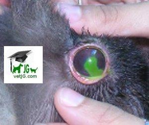 Alteraciones en el ojo de nuestra mascota.