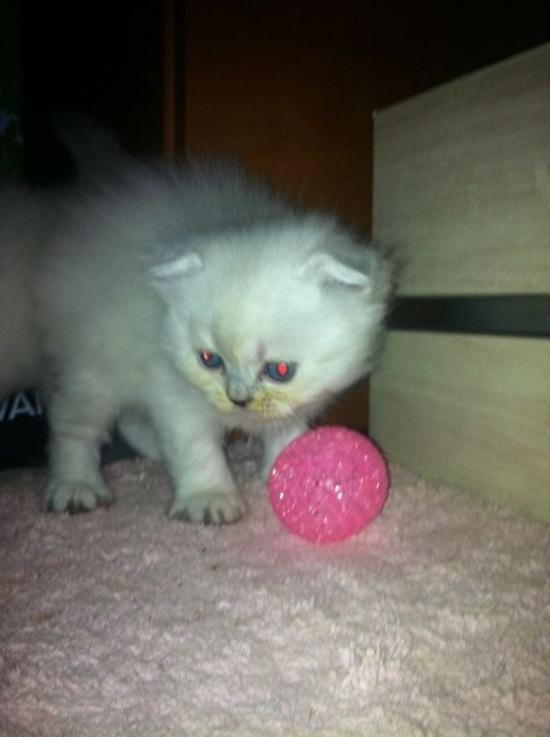 Razas felinas:   HIGHLAND FOLD