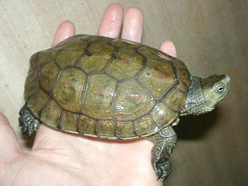 La tortuga galápago nuestra tortuga de agua.