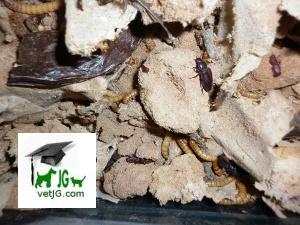 Tenebrio molitor, denominado comúnmente gusano de la harina.