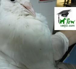 Los piojos de las plumas de las palomas.